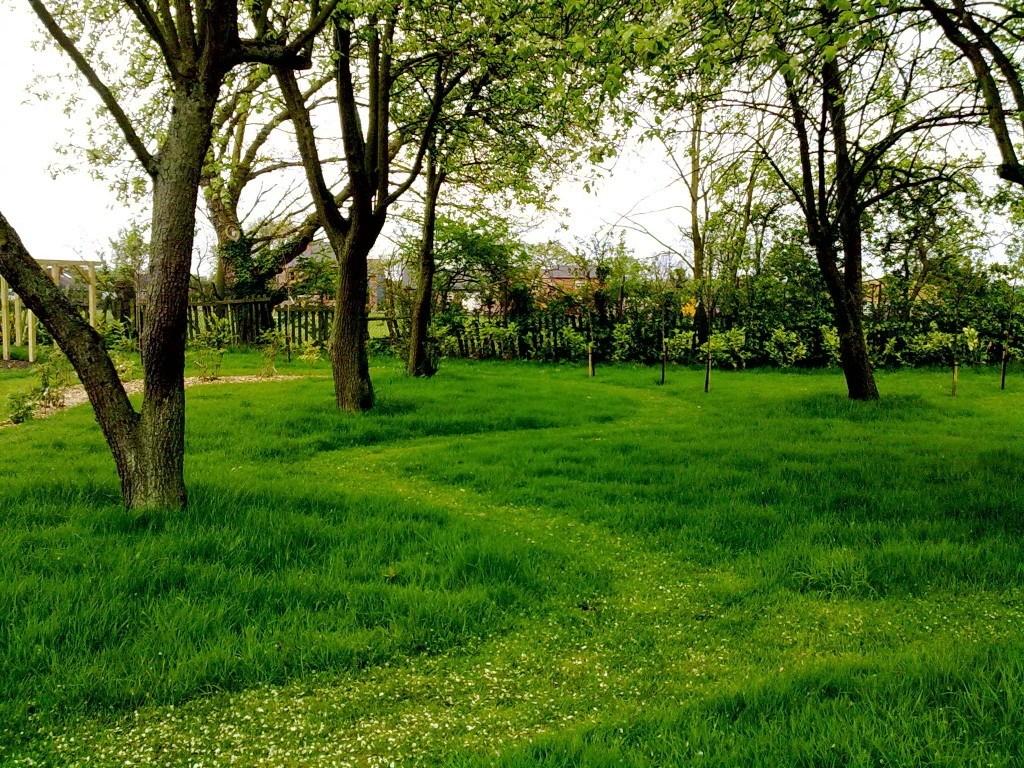 mown lawn through pear orchard